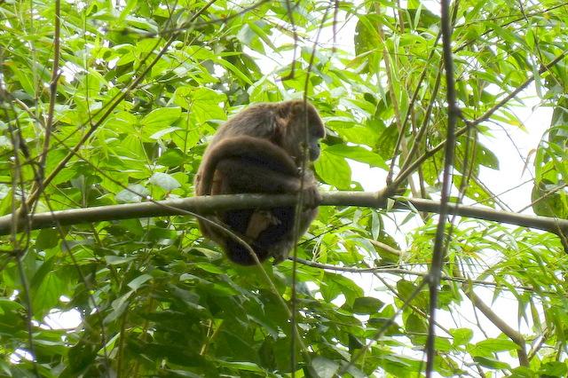 Ecuador Howler Monkey in Pacoche (Credit: Irene S. Levine)